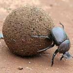 The Ball - Dung Beetle